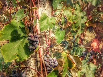 Vinul lui 2017
